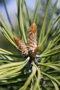 Free Details Of Plant Fir Cone Royalty Free Stock Images - 7272309