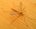 Free Dangerous Large Mosquito Royalty Free Stock Photography - 72803837