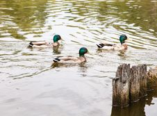 Free Three Ducks Swimming In A Pond Stock Images - 72851594