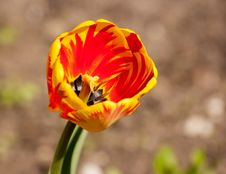 Free Red And Yellow Tulip Stock Image - 72851611