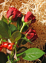Free Red Roses Royalty Free Stock Photography - 731957