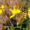 Free Painted Lady Butterfly Royalty Free Stock Images - 734619