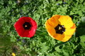 Free Yellow And Red Tulip Stock Image - 736801