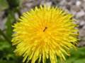 Free Dandelion And Ant Stock Images - 737824