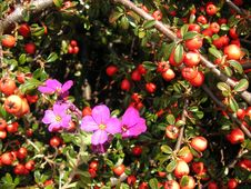 Free Aubrieta And Berries Royalty Free Stock Photo - 730185