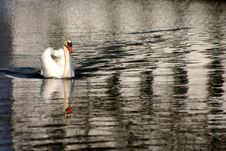 Free Swans Royalty Free Stock Photography - 730367