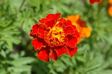 Free Marigold Stock Photography - 731742