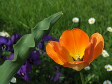 Free Spring Tulip Stock Photo - 731820