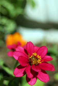 Free Zinnia And Bee Vertical Stock Photos - 731873