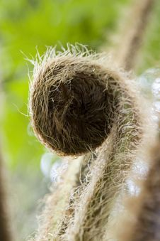 Free Hairy Bud Royalty Free Stock Image - 732406