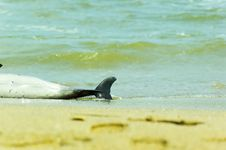 Free Dead Dolphin Stock Photography - 732622