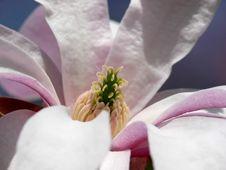 Free Pink Magnolia Stock Photos - 733333