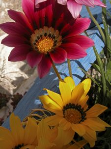 Free Gazanias Royalty Free Stock Images - 734559