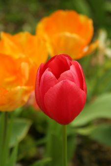 Free Red Tulips Stock Image - 735471