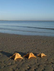 Free Seastars Royalty Free Stock Photography - 735717