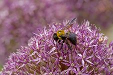 Free Bee On Purple Flower Royalty Free Stock Photos - 735998