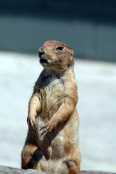 Prairie Dog  7 Stock Image