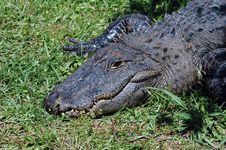 Free Alligator  2 Royalty Free Stock Photos - 736848