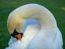 Free Elegant Swan Royalty Free Stock Photo - 737625