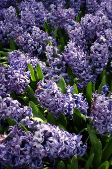 Free Purple Dutch Flowers Royalty Free Stock Photos - 738348