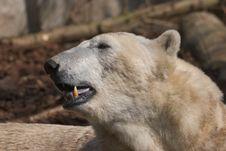 Free Polar Bear Stock Photography - 738702