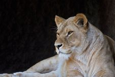 Free Lioness Royalty Free Stock Photos - 738728