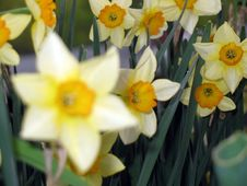 Free Daffodil1 Royalty Free Stock Images - 738759