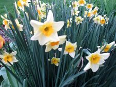 Free Daffodils Stock Image - 738781
