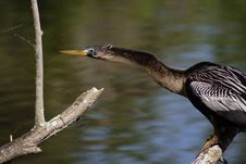 Free Anhinga Stock Photo - 739230