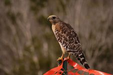 Free Hawk Royalty Free Stock Images - 739239