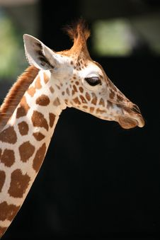 Free Giraffe Royalty Free Stock Photography - 739607