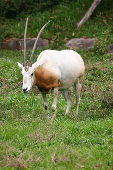 Free White Oryx Royalty Free Stock Photos - 739618
