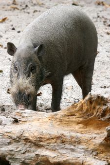 Free Bearded Pig Stock Photography - 739622