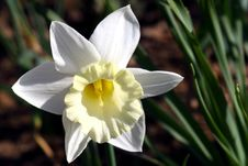 Free Narcissus. Stock Image - 739901