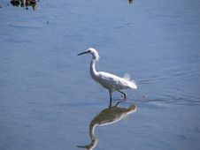 Free White Egret In Water Stock Photos - 739923