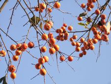 In The Winter Of Persimmon Royalty Free Stock Photos