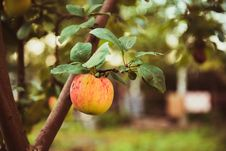 Free Red Apple On A Tree Stock Photos - 73492973