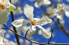 Free Magnolia Blossoms Stock Image - 7351671