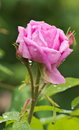 Free Pink Rose In The Rain Royalty Free Stock Photos - 73702228