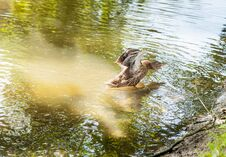 Duck Flaps Its Wings At The Lake Royalty Free Stock Images