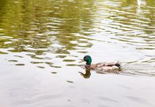 Duck Swimming On The Lake Stock Image
