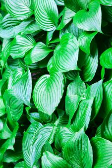 Free Large Green Leaves Closeup Royalty Free Stock Images - 73832529