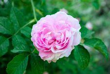 Free Pink Rose Closeup Stock Photography - 73832602