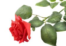 Free Beautiful Red Rose Royalty Free Stock Photography - 7397967