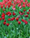 Free Red Tulips Royalty Free Stock Photography - 748697