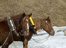 Free Two Horses Royalty Free Stock Photography - 740077