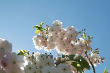 Free Cherry Blossom 01 Stock Photo - 740800