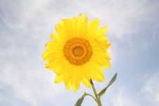 Free Sunflower Royalty Free Stock Photo - 740985