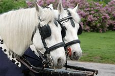 Free Pair Of Carriage Horses Royalty Free Stock Photography - 741937