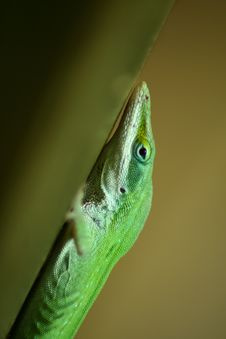Free Green Lizard Stock Photos - 742443